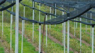 Hagelschutznetze verhindern einen Ernteausfall